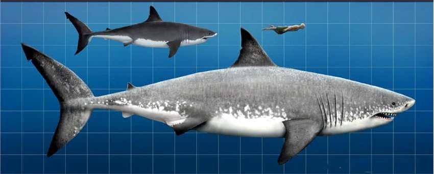 强悍的动物,不过在150万年前已经灭绝,当然也有一些认为巨齿鲨还活着