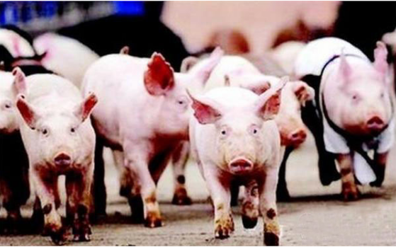 国家生猪生产发展规划发布,猪肉概念股持续关注