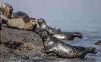 一群可爱的斑海豹成群结队地滩涂上休息   5月中旬后将逐渐离开辽东湾