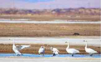 新疆阿勒泰地区哈巴河县一处湿地引一群天鹅觅食栖息