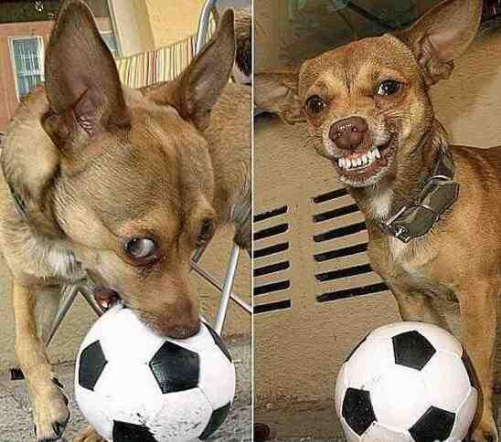 狗狗中也有足球明星?