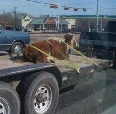 牛的内心是崩溃的,感觉被人绑架了