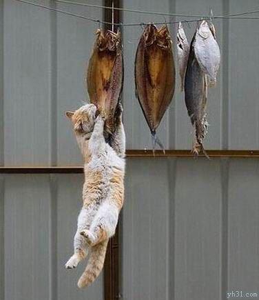 猫咪跳起来吃干鱼