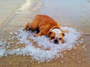 天气太热,狗狗爬在冰块上降温