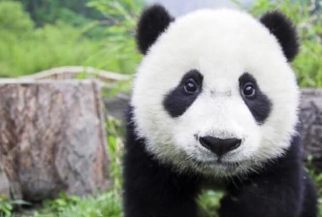 胖肚熊猫萌翻老美