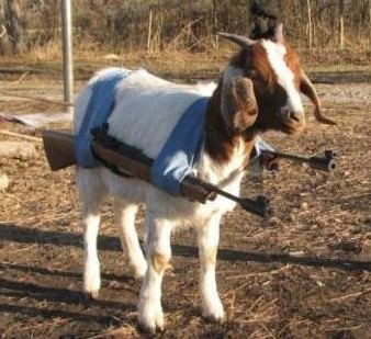 身上配枪的羊
