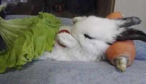 你见过兔子这样睡觉吗