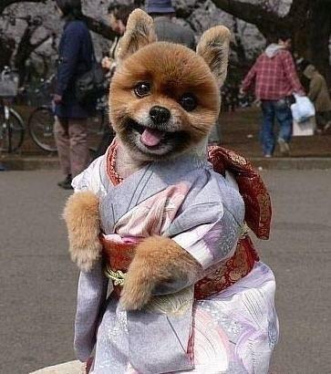穿和服的狗狗