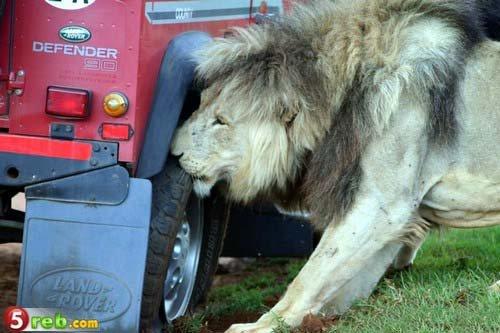 狮子咬轮胎