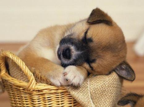 乖乖睡觉的小狗