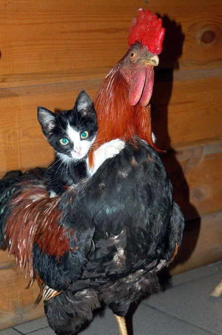 小猫爬到大公鸡背上