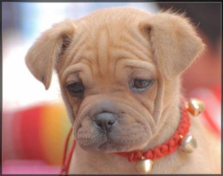 忧郁的小狗,伤感的眼神