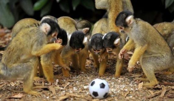 一群猴子玩足球