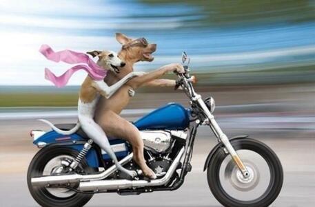 情侣狗狗骑摩托车兜风