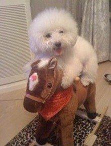 骑木马的小狗