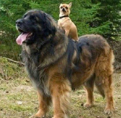 狐假虎威的小狗狗