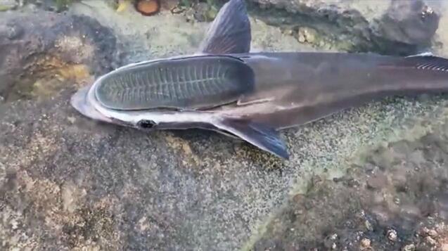 这条鱼投胎时可能被上帝踩了一脚