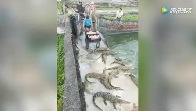 鳄鱼紧追不放喂养人 冒着生命危险