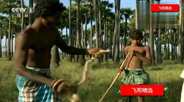 印度捕蛇达人教儿子抓眼镜蛇,轻车熟路
