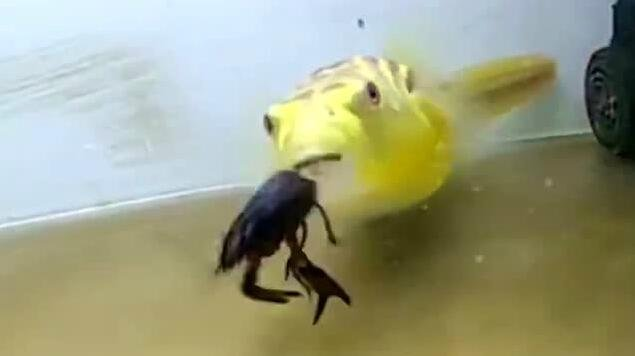 什么鱼这么厉害?吃大龙虾,螃蟹简直不在话下!