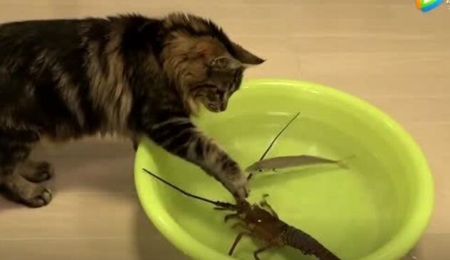 猫咪大战小龙虾,结果出人意料