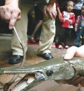 鱼塘惊现吃人鱼 吃人鱼究竟有多恐怖