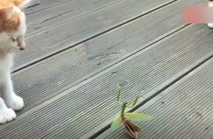 你们猜是螳螂厉害还是猫咪厉害