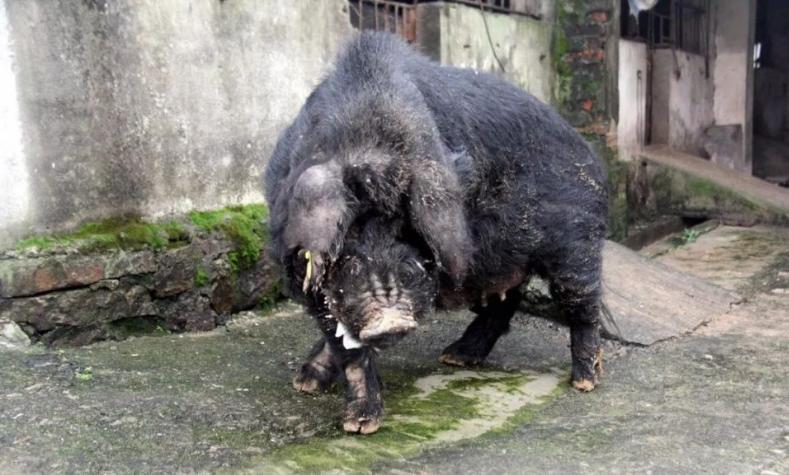 140岁的公猪每月繁殖9窝120头仔猪,13年了如今还在继续