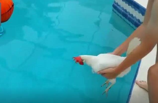 你们猜鸡会游泳吗?