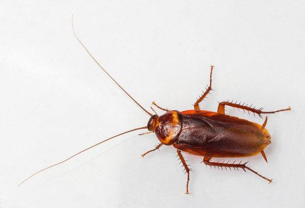 中国人用蟑螂入药,看完美洲大蠊你就明白了