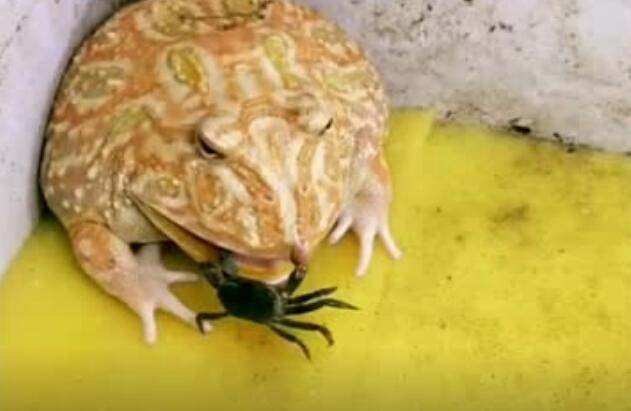小螃蟹的战斗力还蛮强的
