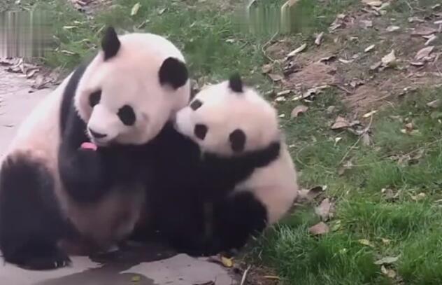 大熊猫一定是个六亲不认的动物
