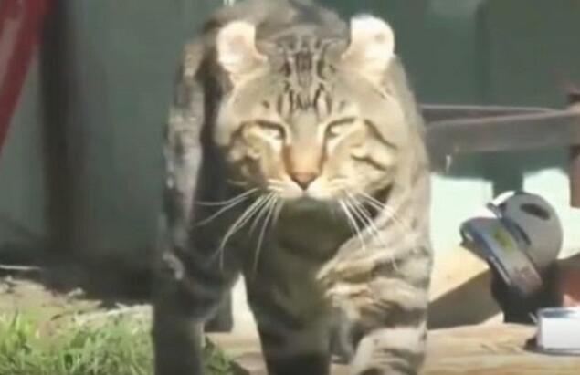 猫咪被老虎养大后气质都变了