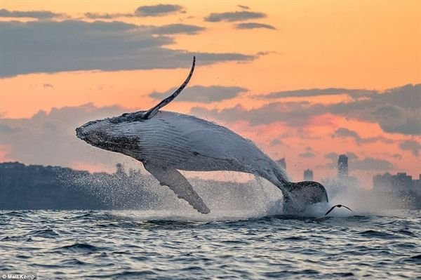 古代巨鲸以其他鲸为食