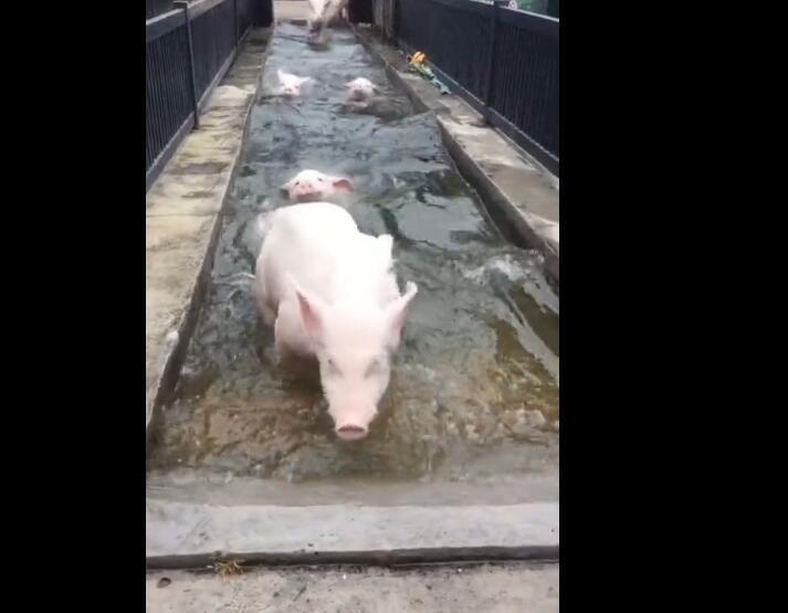 你们猜猪会游泳吗