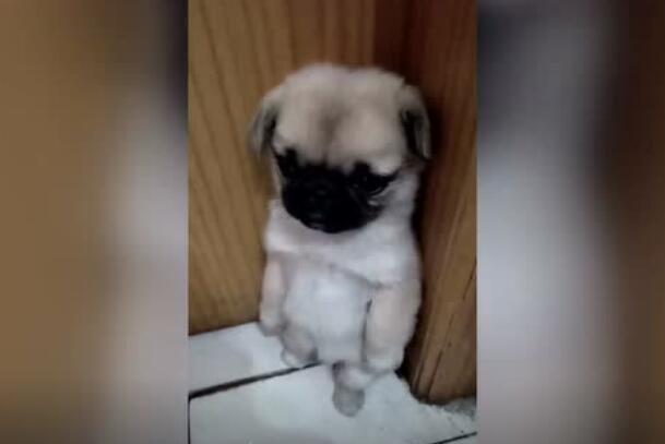 狗狗犯错了,委屈的样子和表情看着好可伶