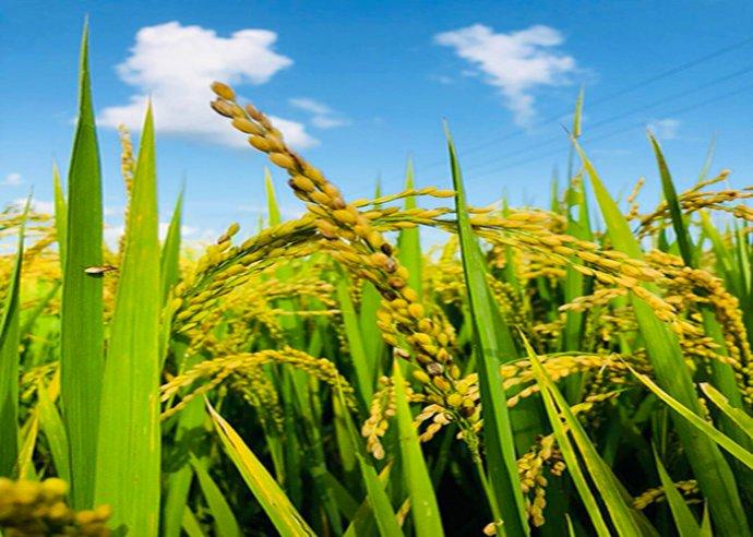 稻河街:做有影响力的健康有机大米
