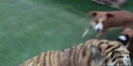 虎落平川被犬欺