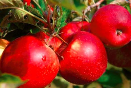 果树所解析出红苹果着色分子机制 揭开苹果变红的奥秘