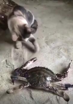 当猫遇见螃蟹,你觉得谁是胜利者