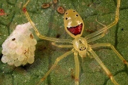 神奇的笑脸蜘蛛真的存在吗?