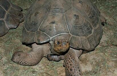 世界上最大的乌龟有多大呢?