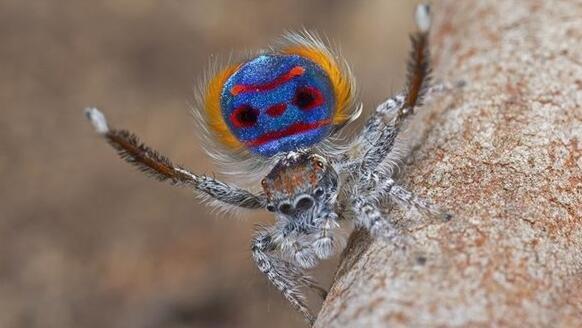 """""""黑斑""""让蜘蛛如此美丽"""