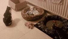 突然炸毛的猫