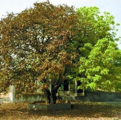 """湖南现""""奇树"""":一边树叶枯萎一边长新叶"""