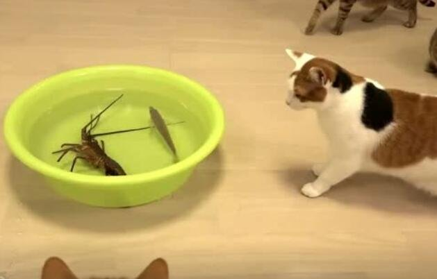 喵星人被龙虾给吓跑了,然后叫了一群的帮手,开启围攻模式