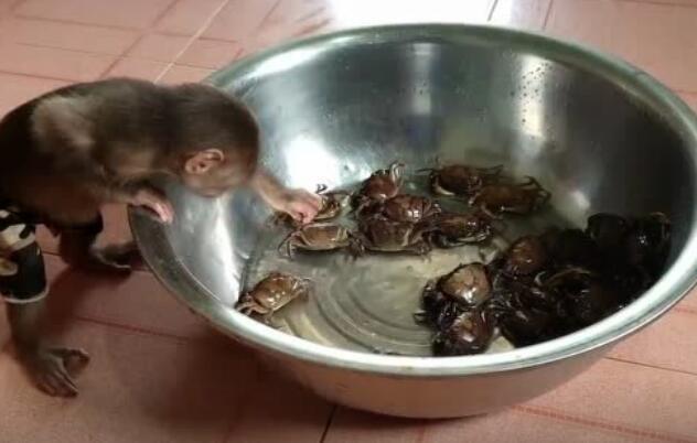 猴子第一次见到螃蟹的反应,好奇宝宝正式上线