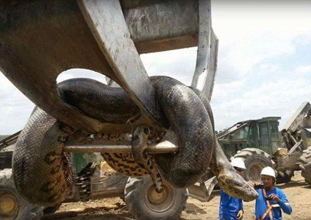 这是有史以来最大的蛇!建筑工人发现10米巨蟒重达800斤