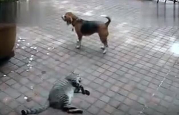 淡定喵星人躺着看狗群打架,最后悲剧来了!