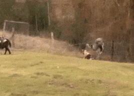 落荒而逃的大鸵鸟